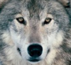 wolfeoe[36746].png